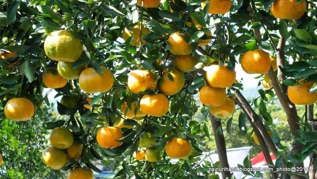jeruk balitjestro