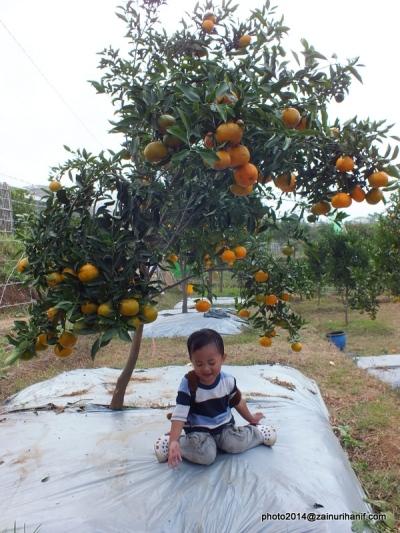 Tanaman Jeruk dan buahnya usia 4 tahun yang terjangkau anak-anak