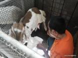 Higenis memerah susu kambing